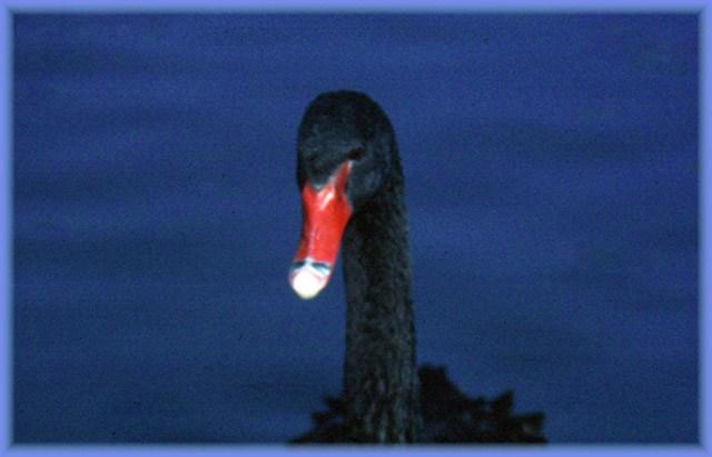 cisne-negro