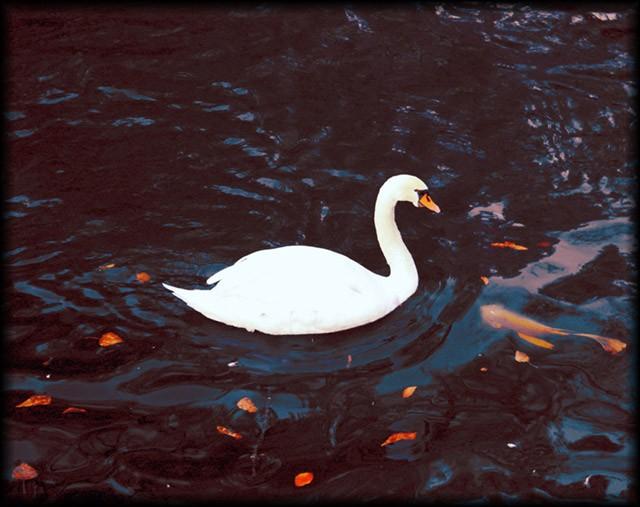 cisnes-y-pez