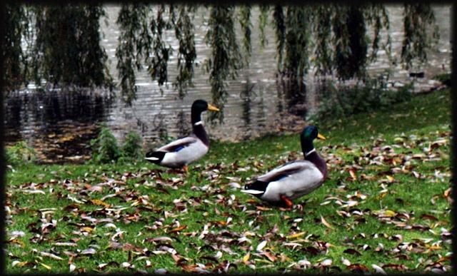 pareja-patos