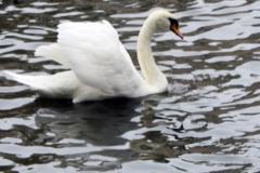 cisnes3