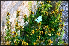 mariposa-azul
