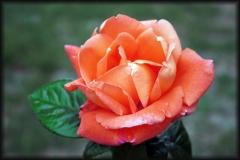 rosa-de-palencia-2