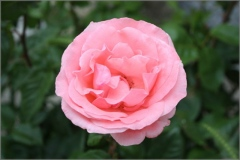 rosa-de-palencia